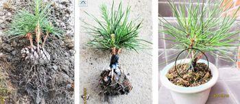 実生から四十数年の寄せ植え黒松盆栽 松毬飾りの後の処理は?