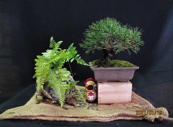 実生から四十数年の寄せ植え黒松盆栽 冬模様もみどり