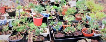 実生から四十数年の寄せ植え黒松盆栽 実生苗『黒松』3年生