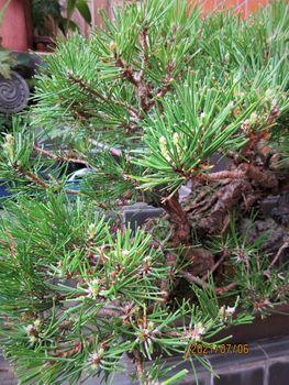 実生から四十数年の寄せ植え黒松盆栽 「もうすぐ、7月は【芽切】ですね。」