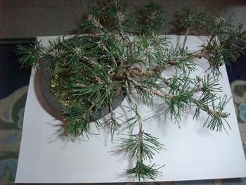 実生から四十数年の寄せ植え黒松盆栽 曲げる場所は多く巻き付けるか。