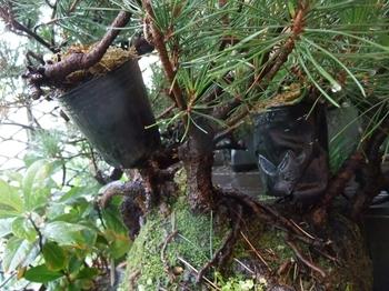 実生から四十数年の寄せ植え黒松盆栽 鉢の南と北に2本取木をかける。