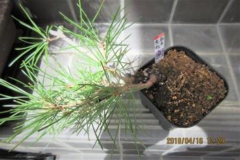 実生から四十数年の寄せ植え黒松盆栽 この4月16日は、他黒松の芽が伸びる頃。