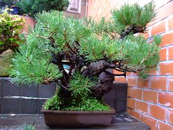 実生から四十数年の寄せ植え黒松盆栽