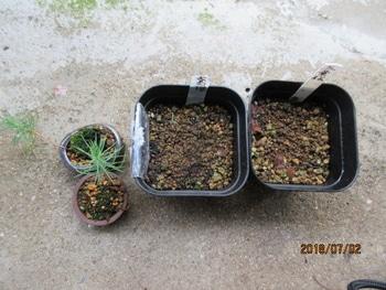 楽しく盆栽! 五葉松 3月に種蒔きしたが発芽せず。