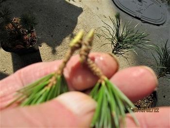 楽しく盆栽! 五葉松 黒松に『瑞祥』を【元接ぎ】にする。