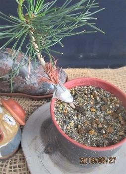 楽しく盆栽! 五葉松 これは失敗ですね。
