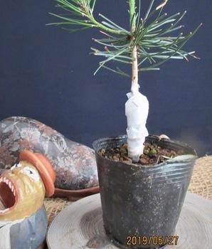 楽しく盆栽! 五葉松 まだ、不明です。