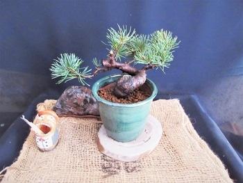 楽しく盆栽! 五葉松 微かな希望をもって?植替えダメだろうな。