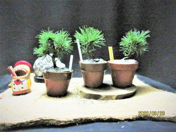 楽しく盆栽! 五葉松 実生苗『瑞祥』3鉢購入、1鉢1000円