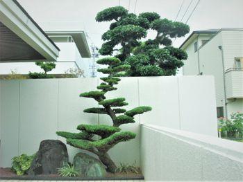 楽しく盆栽! 五葉松 中学時代の五葉松が門前に育つ。