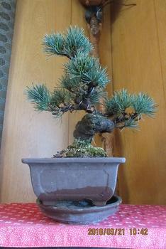 楽しく盆栽! 五葉松 鉢中の土が見えない水平写真だ。