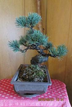 楽しく盆栽! 五葉松 一見、きれいに見えるが・・・