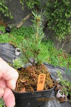 楽しく盆栽! 五葉松 九州八房 八房性五葉松