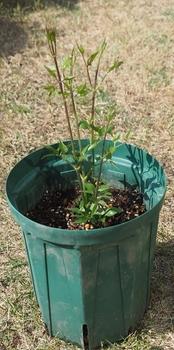 クレマチスの栽培 順調に伸びています