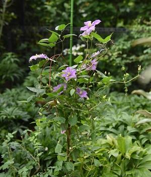 クレマチスの栽培 180507 順調に育っています。