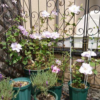 クレマチス白馬 今年も咲いてくれました