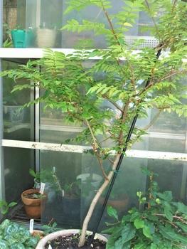 山椒 の 木 の 育て 方 山椒の木の育て方、鉢植え山椒が枯れる6つの原因とは?