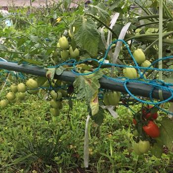 何処までも伸ばすミニトマト  2018 着果の様子