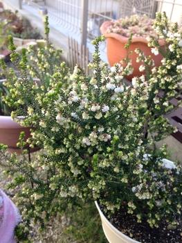スズランエリカ、ツリー仕立てにしたい! 1年経って開花
