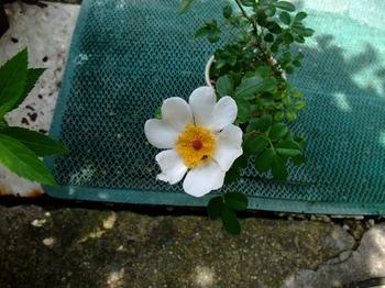 『八重山ノイバラ』は、作りやすい! 花びらのハート形もいい。