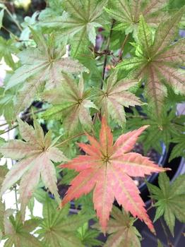 鴫立沢の四季を楽しみたい。(*^^*) 紅葉一番乗り。