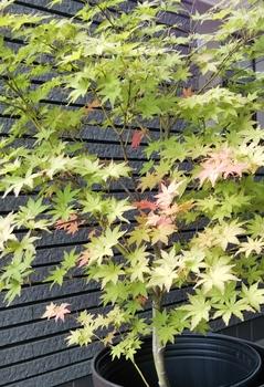 鴫立沢の四季を楽しみたい。(*^^*) 少し紅葉が進んでいます。🎵