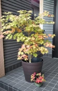 鴫立沢の四季を楽しみたい。(*^^*) これくらいの紅葉も🎵(⌒‐⌒)✌️
