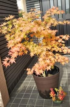 鴫立沢の四季を楽しみたい。(*^^*) 一気に紅葉が進みます。