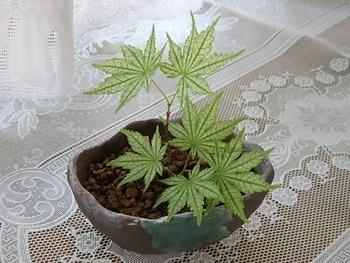 鴫立沢の四季を楽しみたい。(*^^*) 盆栽に。(*^^*)✨
