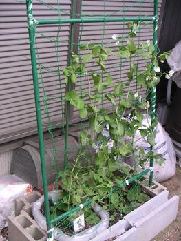 春のグリーンカーテン エンドウ豆と… エンドウ豆、温かさでやっと伸びてきて