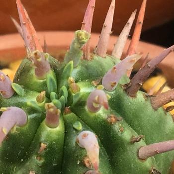 「勇猛閣」 ユーフォルビア属フェロックス 🔱✨新トゲの鮮やかな色も魅力のひとつ