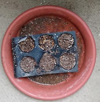 おいしいアテモヤ育てたい 挿し芽用土に植え付け