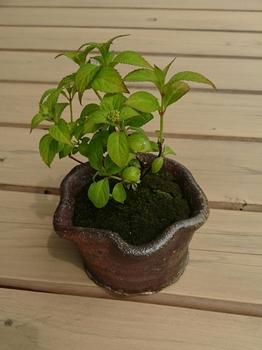 ミニ盆栽 土佐の霧雨 5/2 植え付け完了