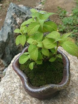 ミニ盆栽 土佐の霧雨 5/4 水やり、写真撮影