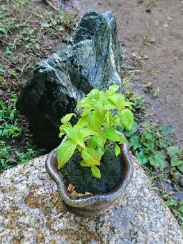 ミニ盆栽 土佐の霧雨 5/6 早朝 水やり、写真撮影