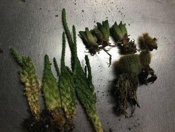 サボテン寄せ植え買いました。 枯れてしまいました。