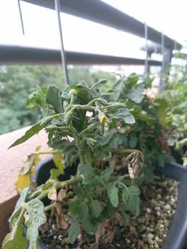 背の低いミニトマト、種蒔きから頑張る💪 8月13日 やっと花?