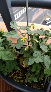 背の低いミニトマト、種蒔きから頑張る💪 9月1日 今頃大きめのお花が😅