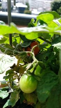 背の低いミニトマト、種蒔きから頑張る💪 10月6日 やっと赤くなりました