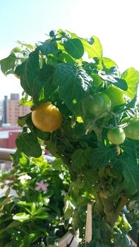 背の低いミニトマト、種蒔きから頑張る💪 10月25日 たまに収穫