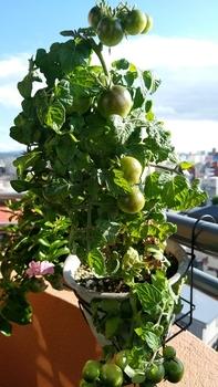 背の低いミニトマト、種蒔きから頑張る💪 10月29日 重くて房が折れる