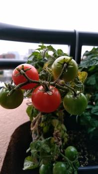 背の低いミニトマト、種蒔きから頑張る💪 11月9日 最後の収穫