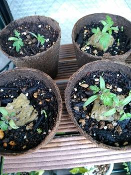 背の低いミニトマト、種蒔きから頑張る💪 6月1日 間引き