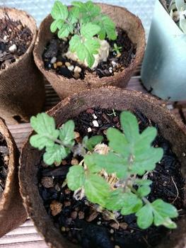 背の低いミニトマト、種蒔きから頑張る💪 6月9日 もう少し大きくなって~
