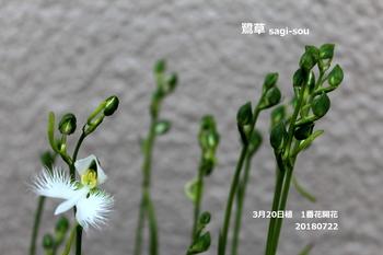 2018年度 鷺草・初チャレンジ ^-^ノ!咲いた さぎそう1番花