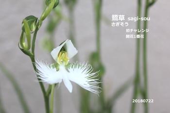 2018年度 鷺草・初チャレンジ 1番花 初チャレンジ成功。^-^開花