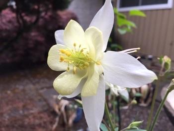 西洋オダマキ 種まきから挑戦 次々と花が