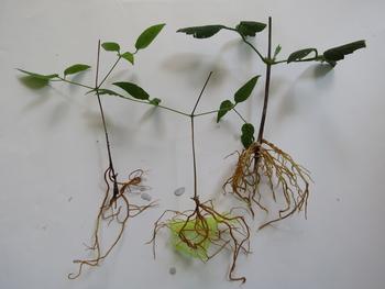 目指せ来年3輪以上 旧枝咲きクレマチス *番外編 8月5日 講習会の挿し穂