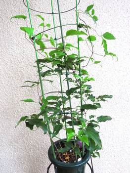 目指せ来年3輪以上 旧枝咲きクレマチス 10月5日 株全体の様子